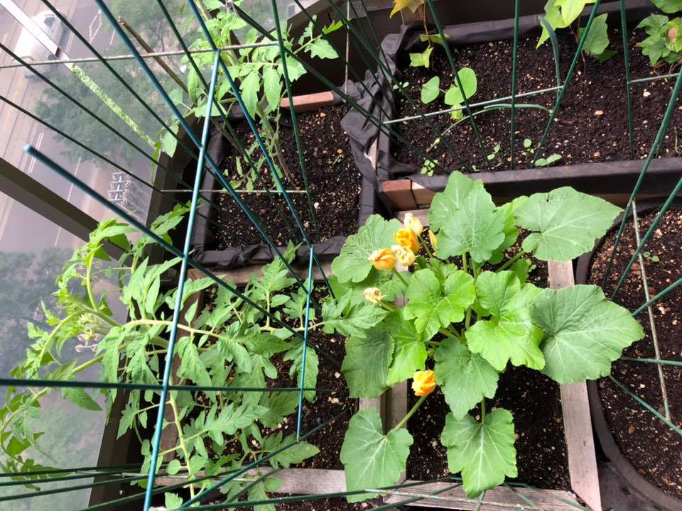 balcony garden with tomato and zucchini plants