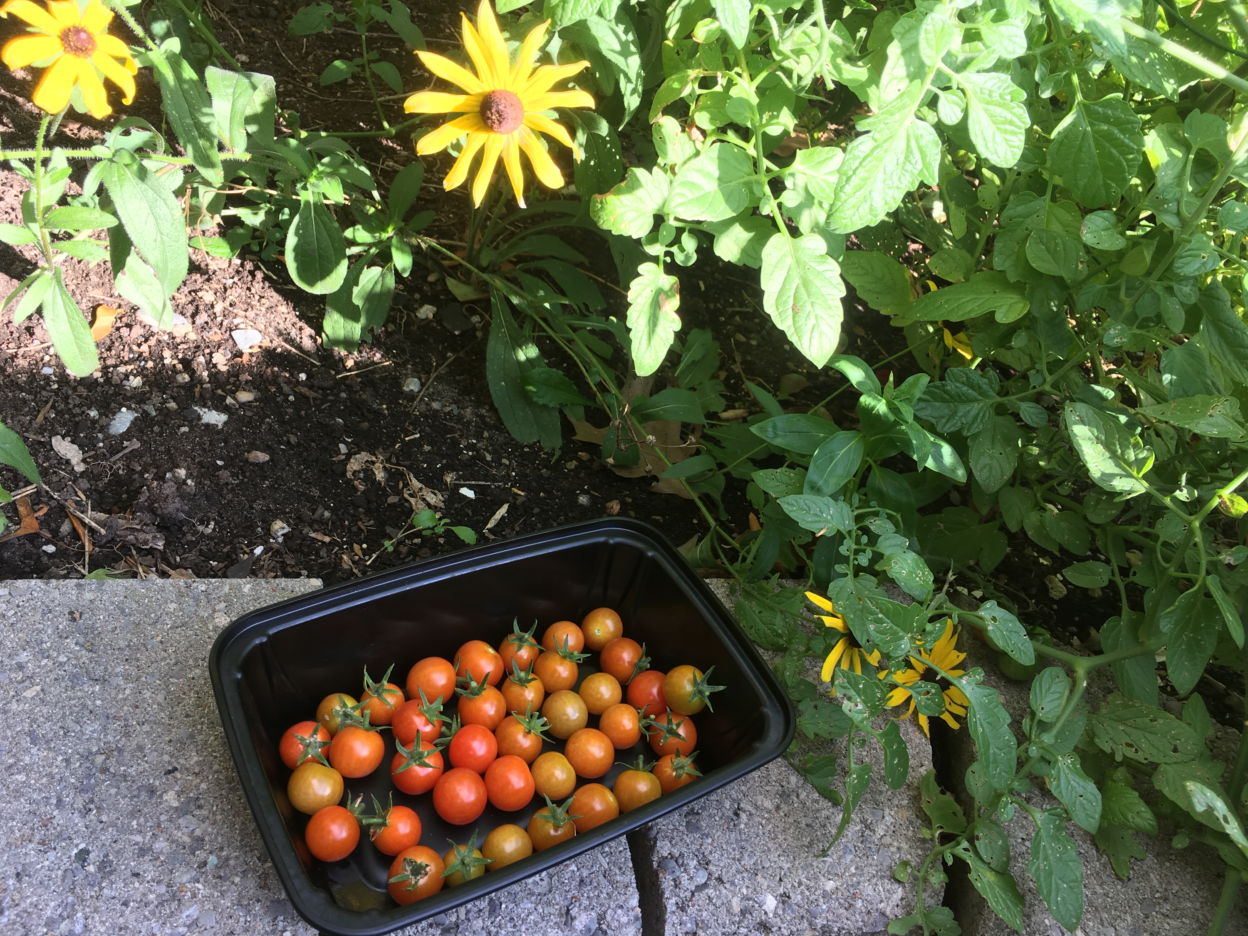 cherry tomatoes by a flower garden