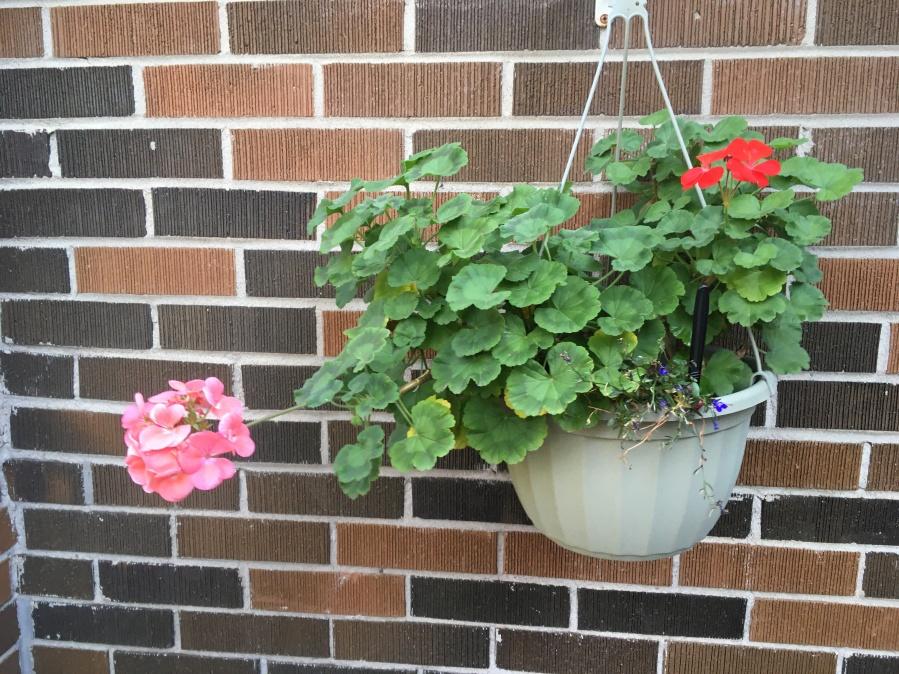 hanging basket with geraniums