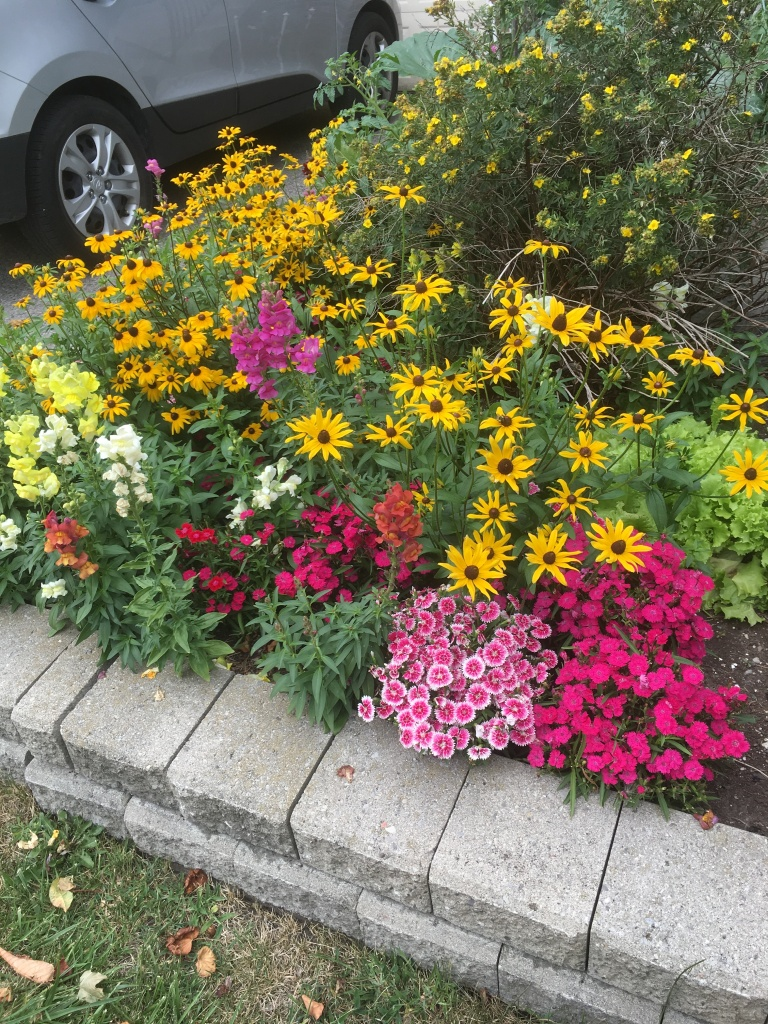 front garden with lettuce, sweet Williams, rudbeckia and snapdragons