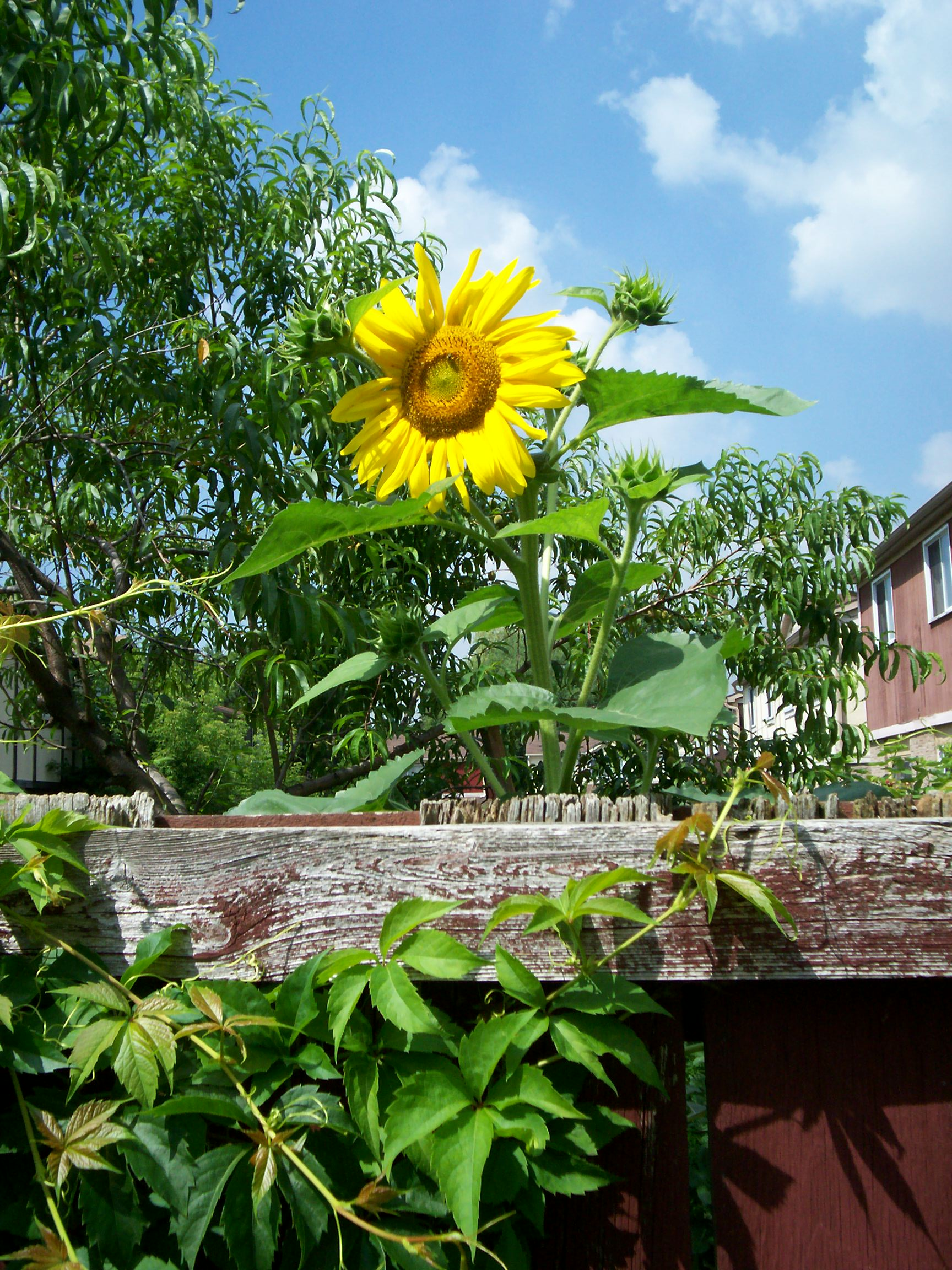 sunflower behind a fence