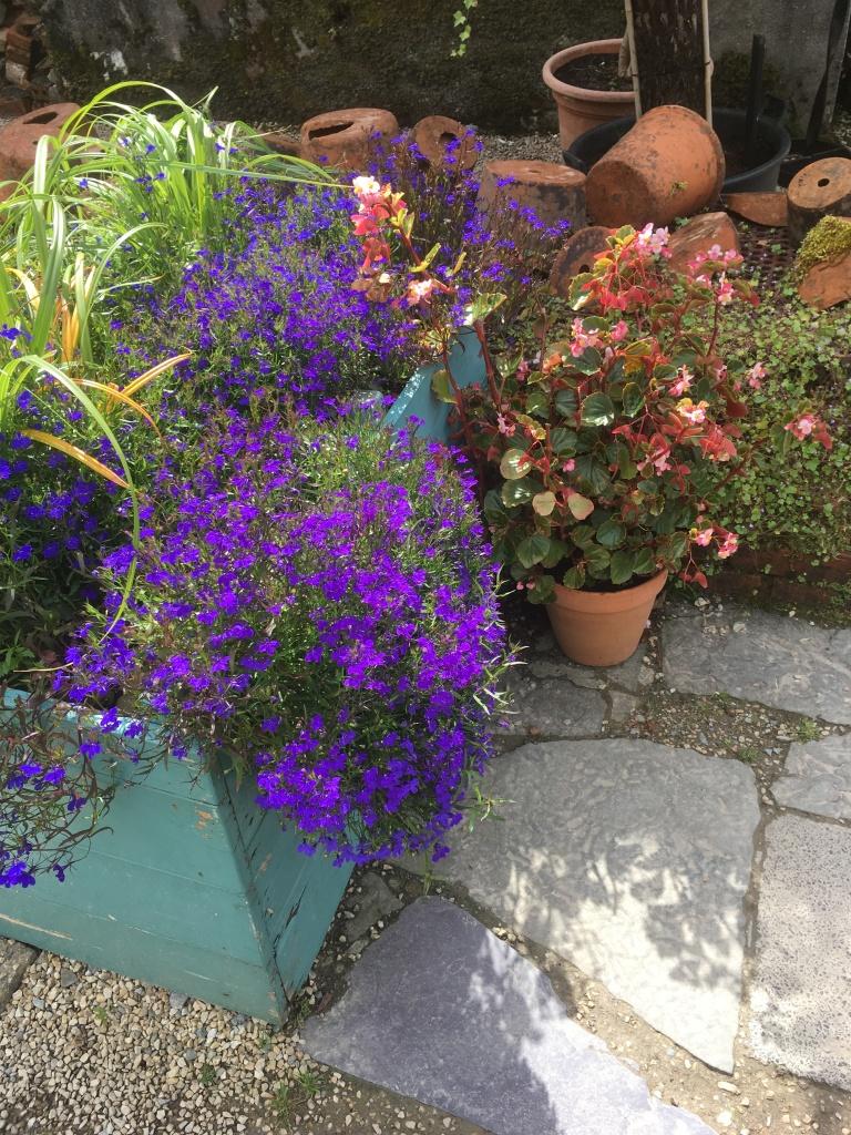 lobelia, begonia and garden pots
