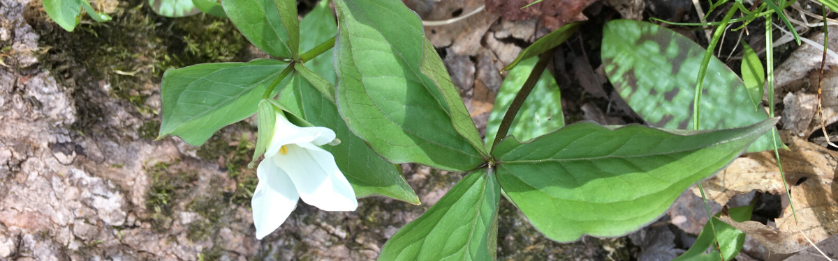 trillium, Case Woodlot, Aurora (photo by Janine Elliott)
