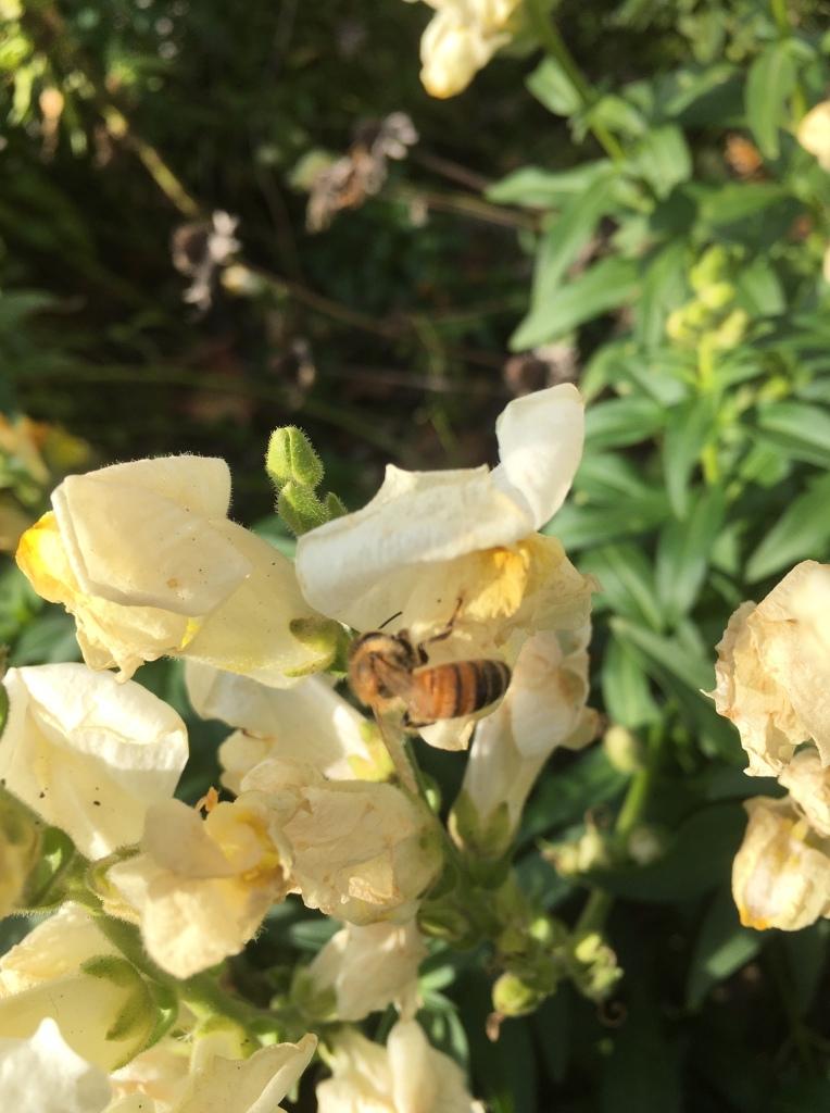 bee visiting snapdragon, November 2020