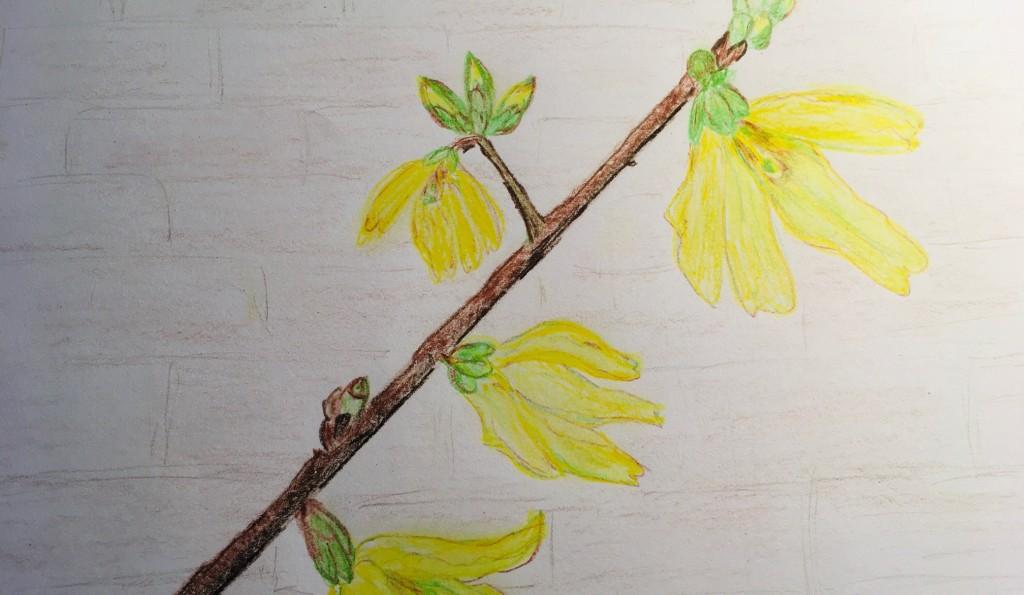 forsythia sketch by Valerie Ferrier