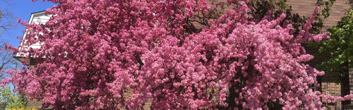 pink blossoms on a tree