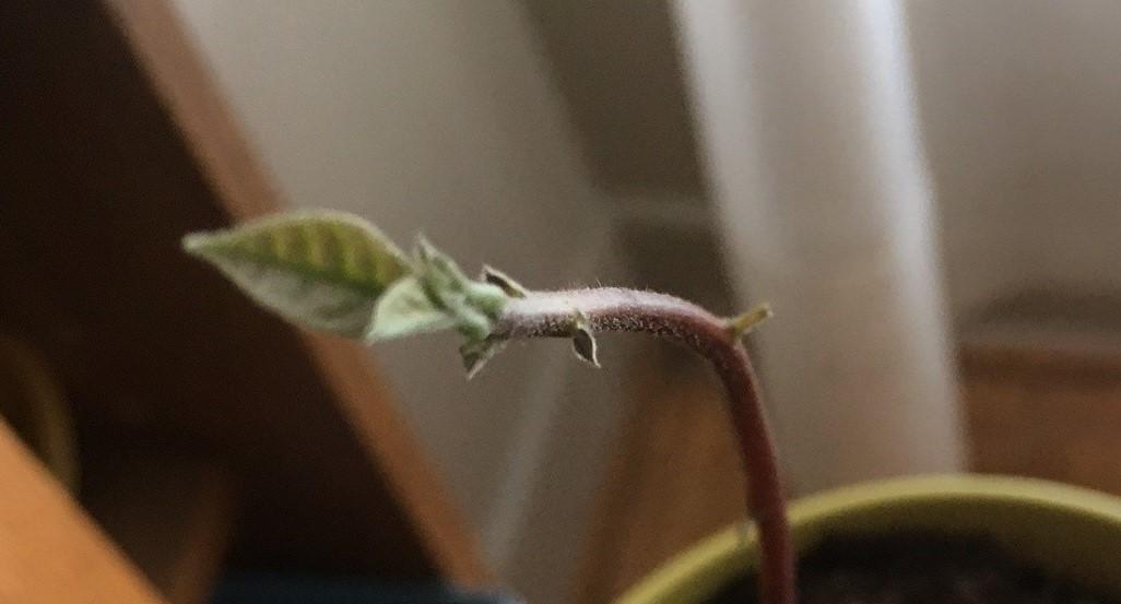 avocado sprout