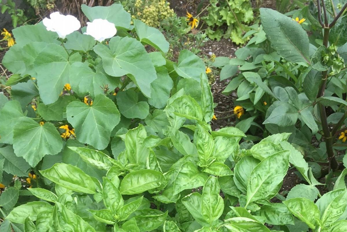 garden with basil, mallow and dahlia