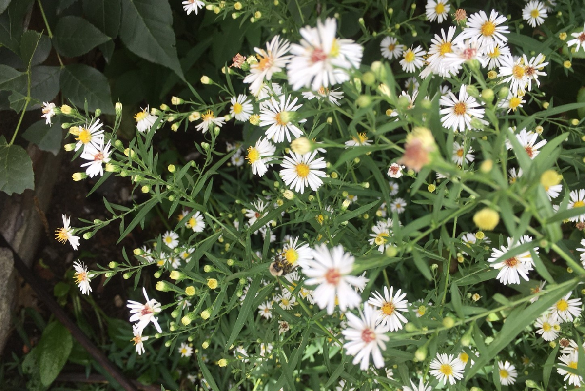 white wild asters with bee (photo by Valerie Ferrier)